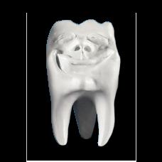 Sádrové zuby Hinrichsova kolekce zubů '' Backi ''